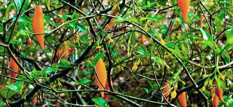 Ibogaína. La planta milagrosa